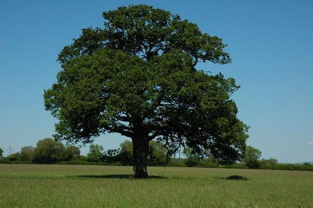 Aiken Tree Image