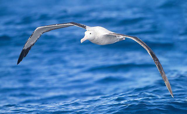Albatross displaying its large wingspan