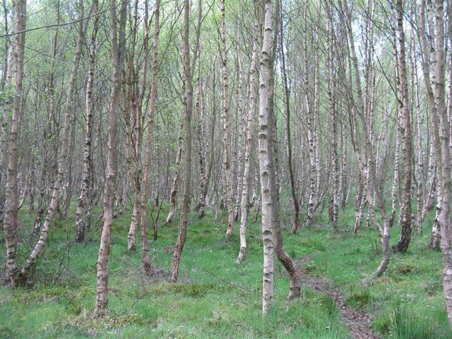 Forest Of Birches, Scotland Image