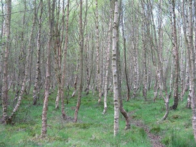 Forest Of Birches, Scotland Image