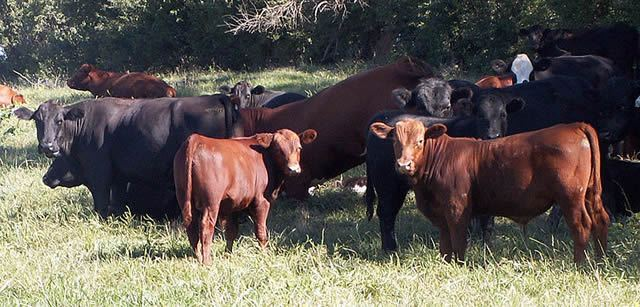 Mixed herd of Black Angus and Red Angus Cattle Image