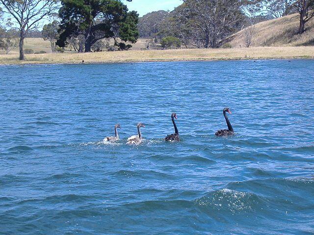 Black Swans Australia Image
