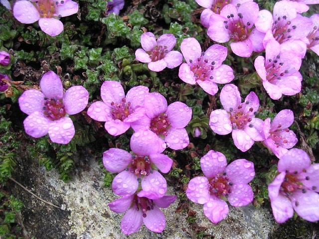 Blooms Of Ben Lawers