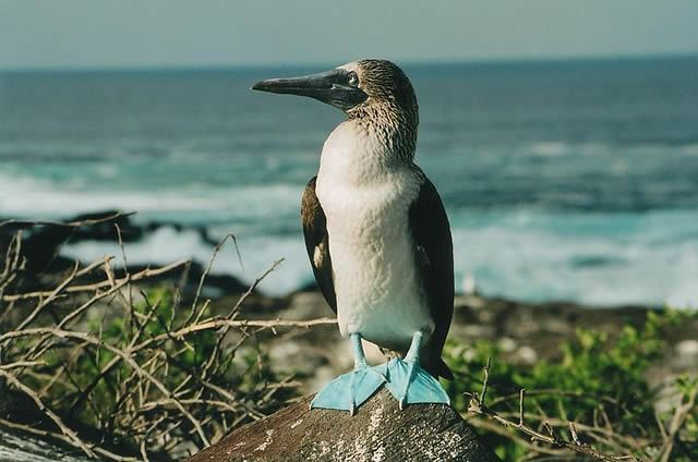 Blue Footed Boobies Image