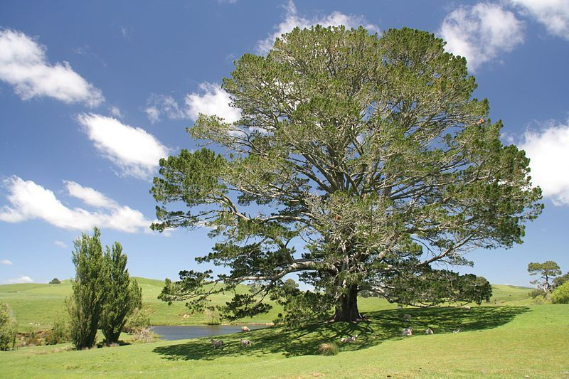 Bonnie Tree New Zealand Image