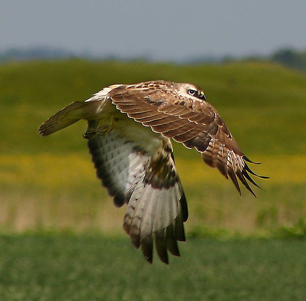 Gliders view of a Buzzard
