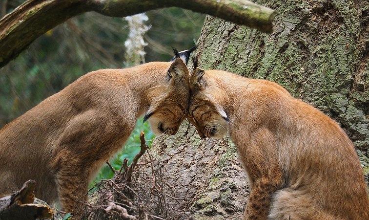 Chain Lynx Image