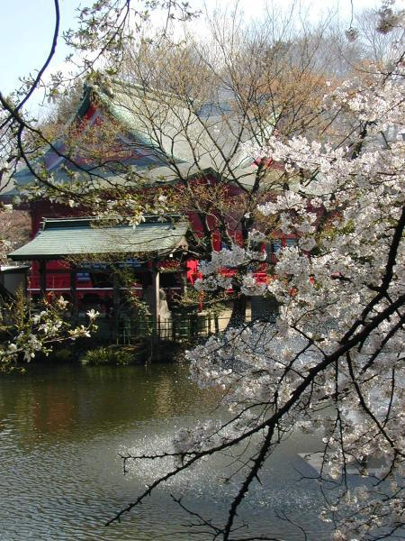Cherry Blossoms Tokyo Image
