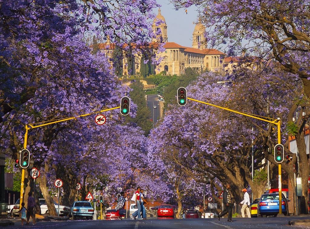 A City In Bloom, Jacaranda trees in Pretoria
