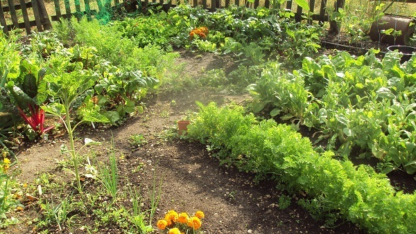 Vegetable Garden In Summer Image