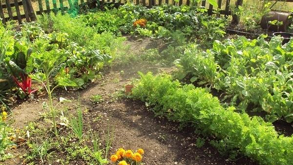 Vegetable Garden In Summer Image