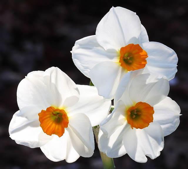 The Daffodil Image