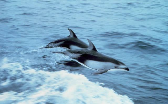 Dancing Dolphins Image