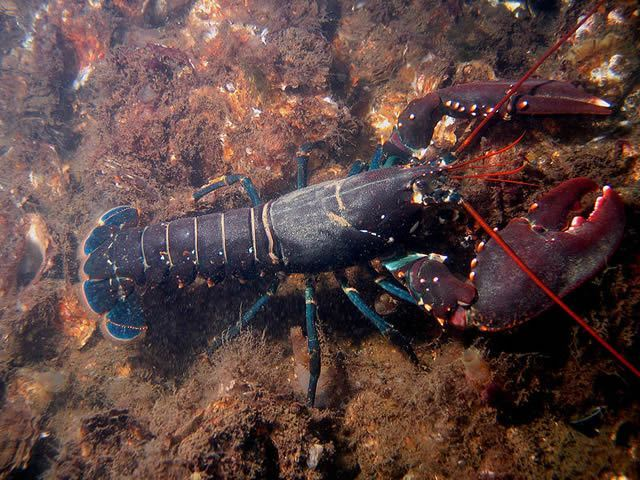 European Lobster Image