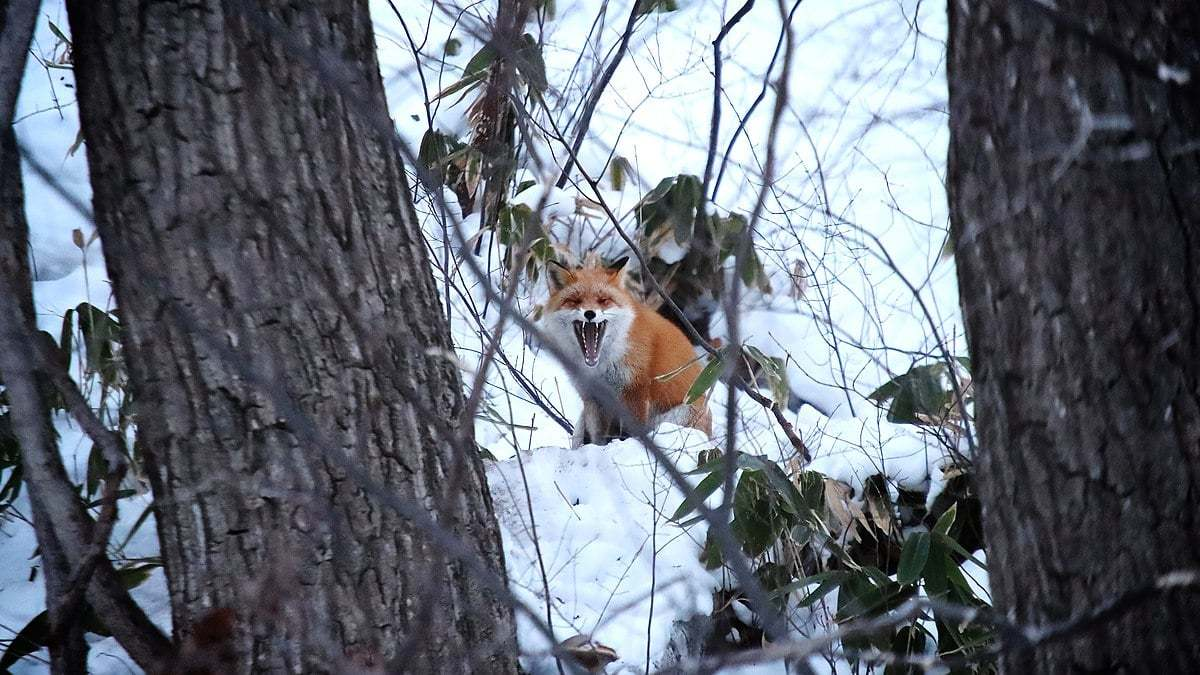 The Ezo red fox in a wood, a subspecies of red fox widely distributed in Hokkaido, Japan.