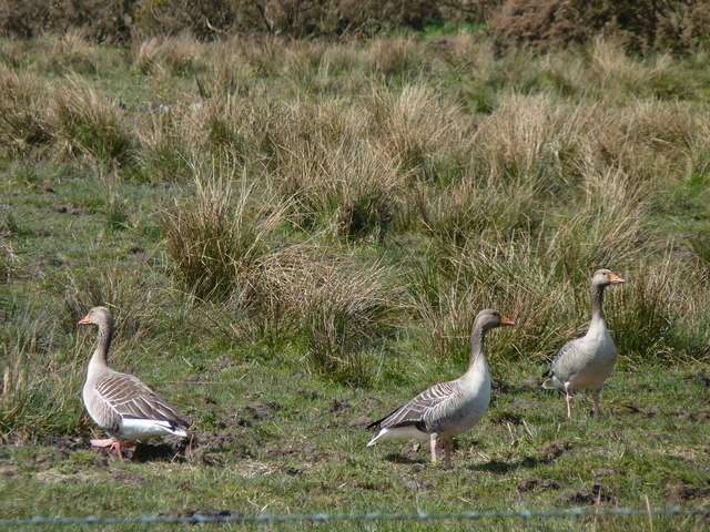 Geese In The Bog Image
