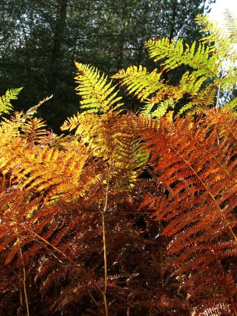 Golden Bracken Image