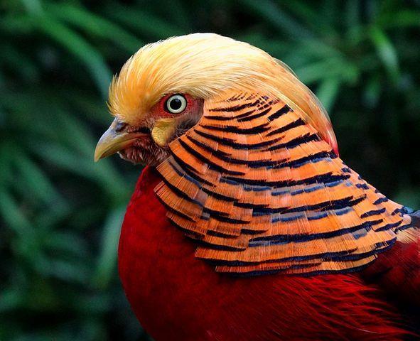 Golden Pheasant Portrait Image
