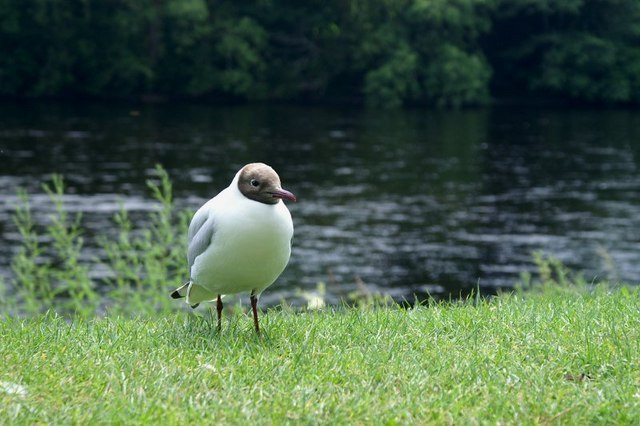 Gull Beside Tay Image