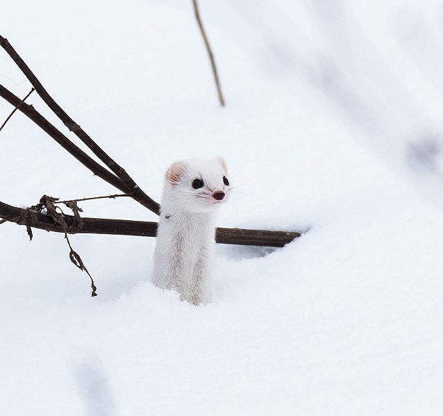 Lonely Weasel in snow.