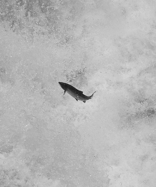 Leaping Salmon Image