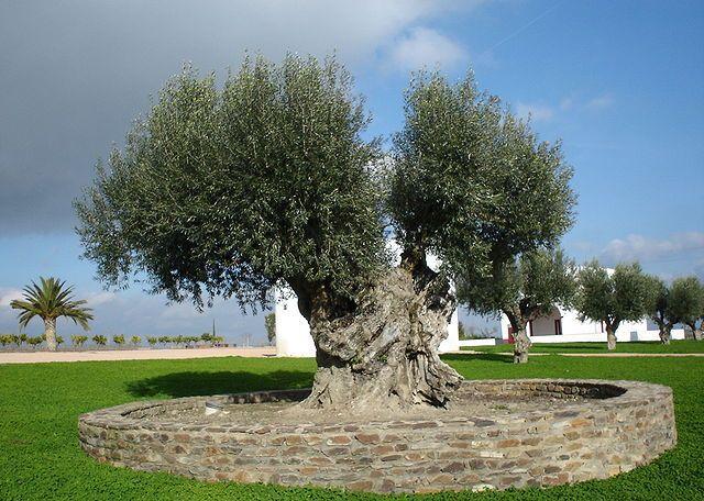 Olive Tree Image