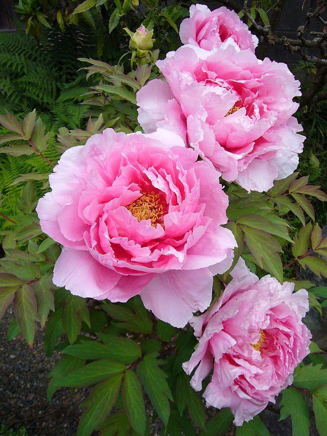 Peony Flower Image