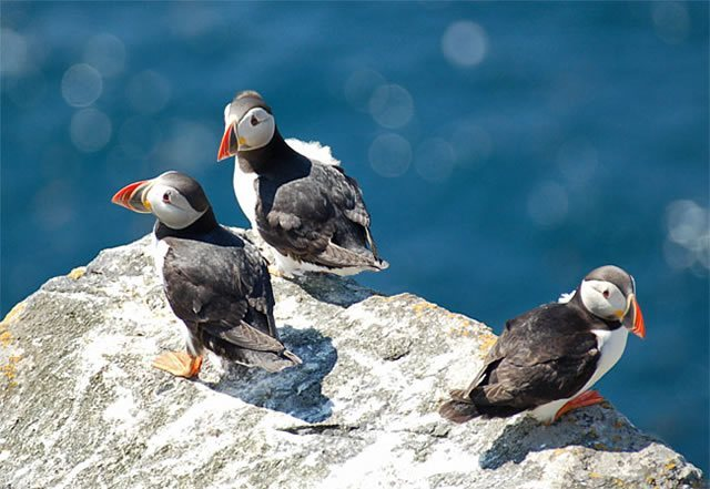 Puffins Image