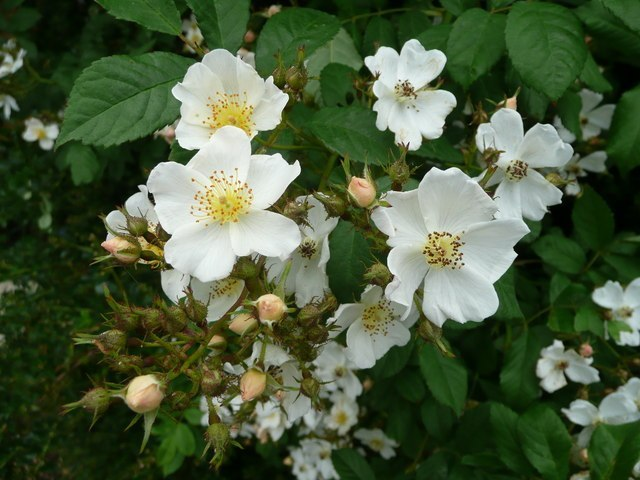 Rambling Rose Image