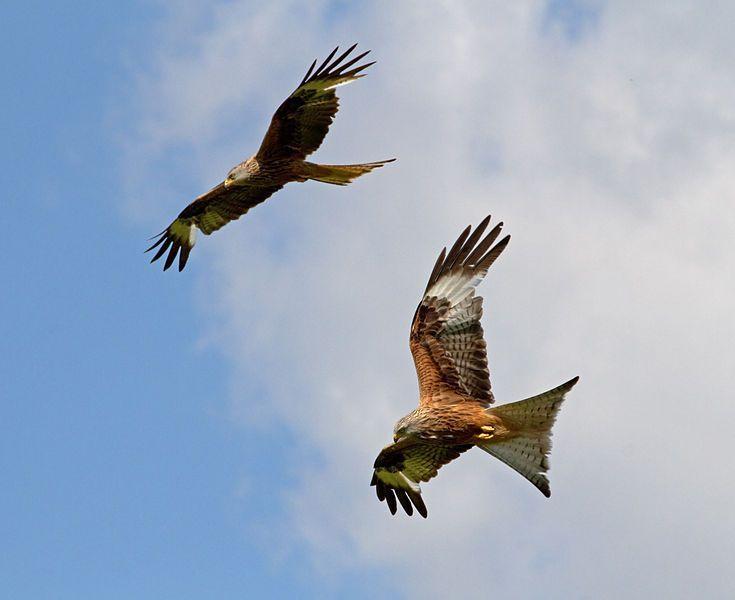 Red Kites Image