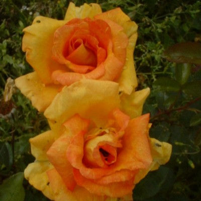 Rose Cultivar Called Doreen, Rose of the North Image
