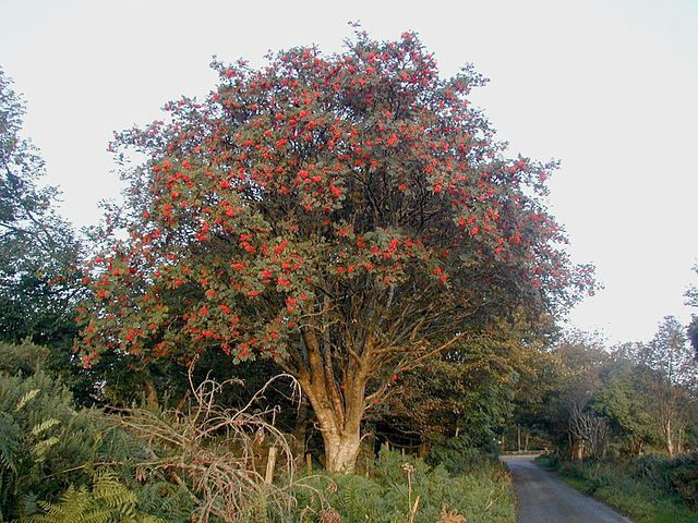 Rowan Tree Image