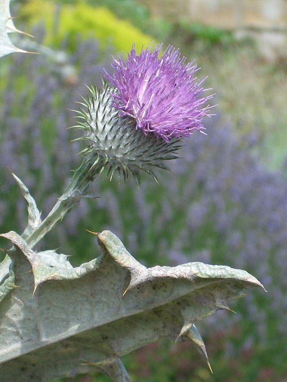 Scotland's Thistle Image