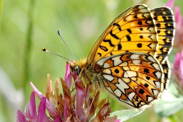 Scottish Butterfly Image