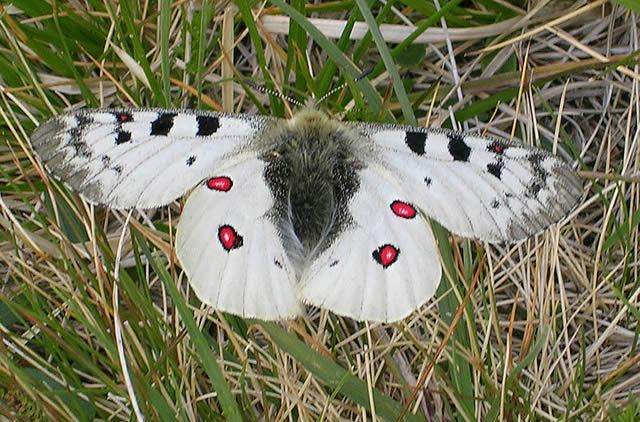 Snow Butterfly Image