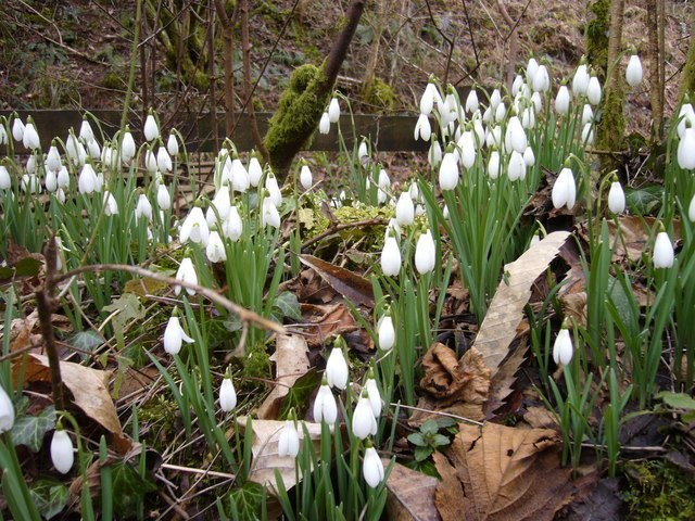Snowdrops In The Glen Image