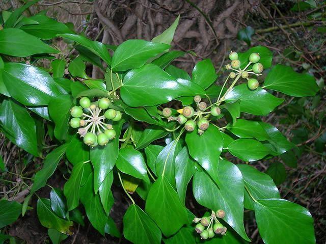 Sprig Of Ivy Image