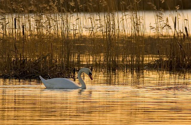 The Swan Image