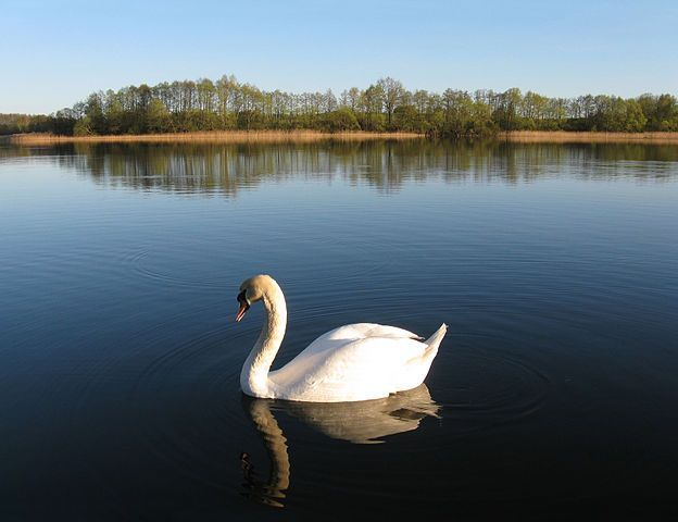 Swan On The Lake Image
