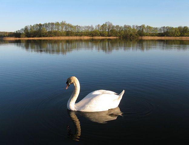 Swan On The Lake Image