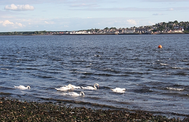 Swans On The Tay Image