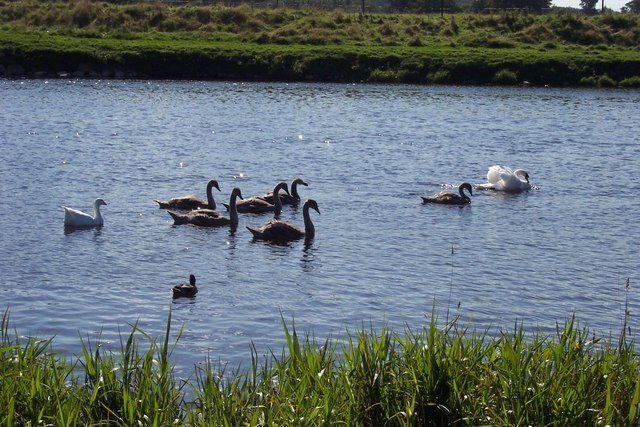 Swans On The Tweed Image