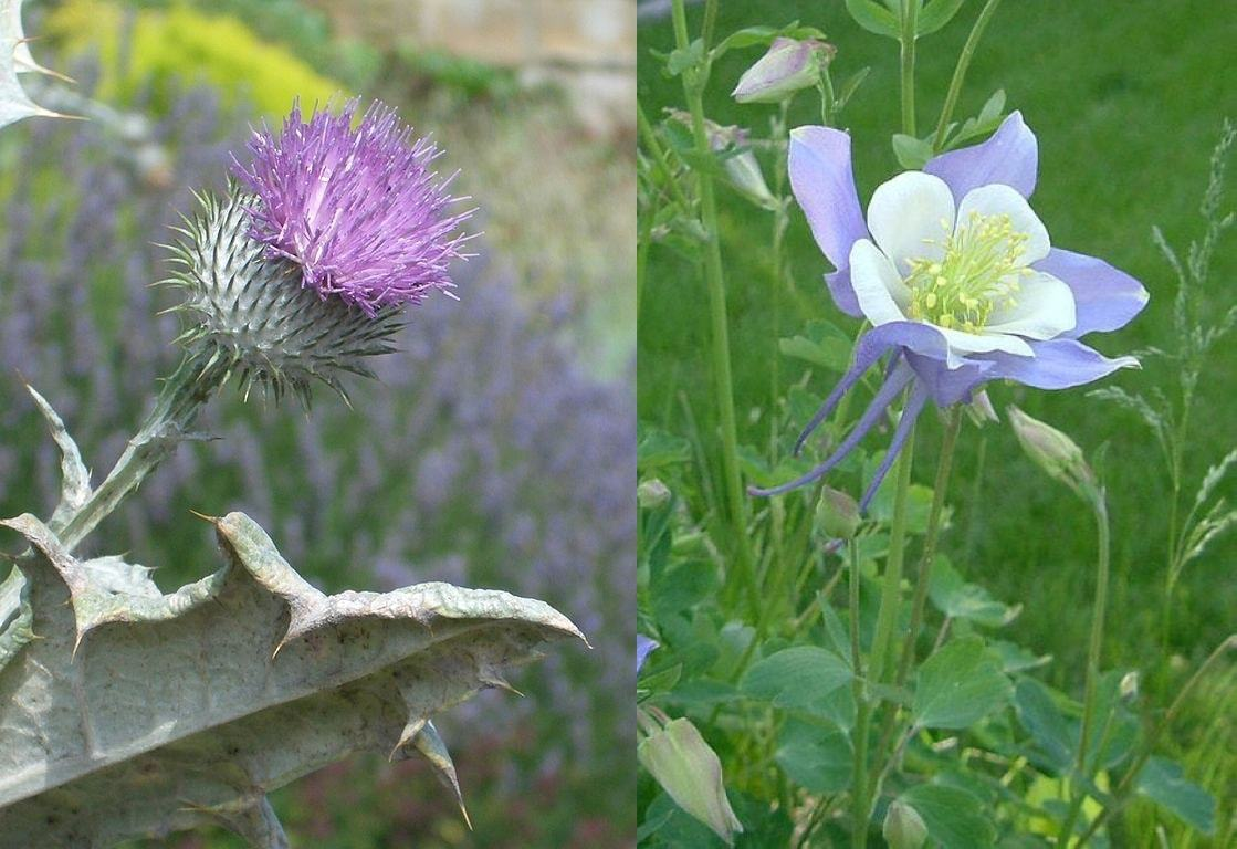 The Thistle And The Columbine Image