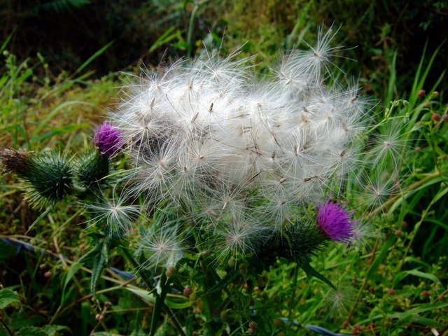 Thistle Down Image
