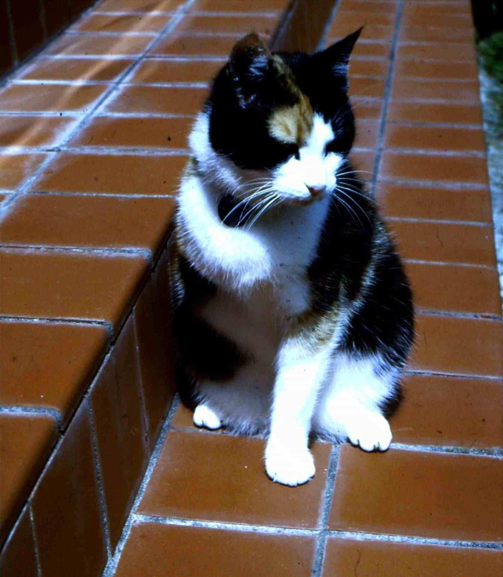 Three-Legged Cat Image