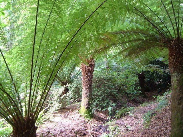 Tree Fern Image