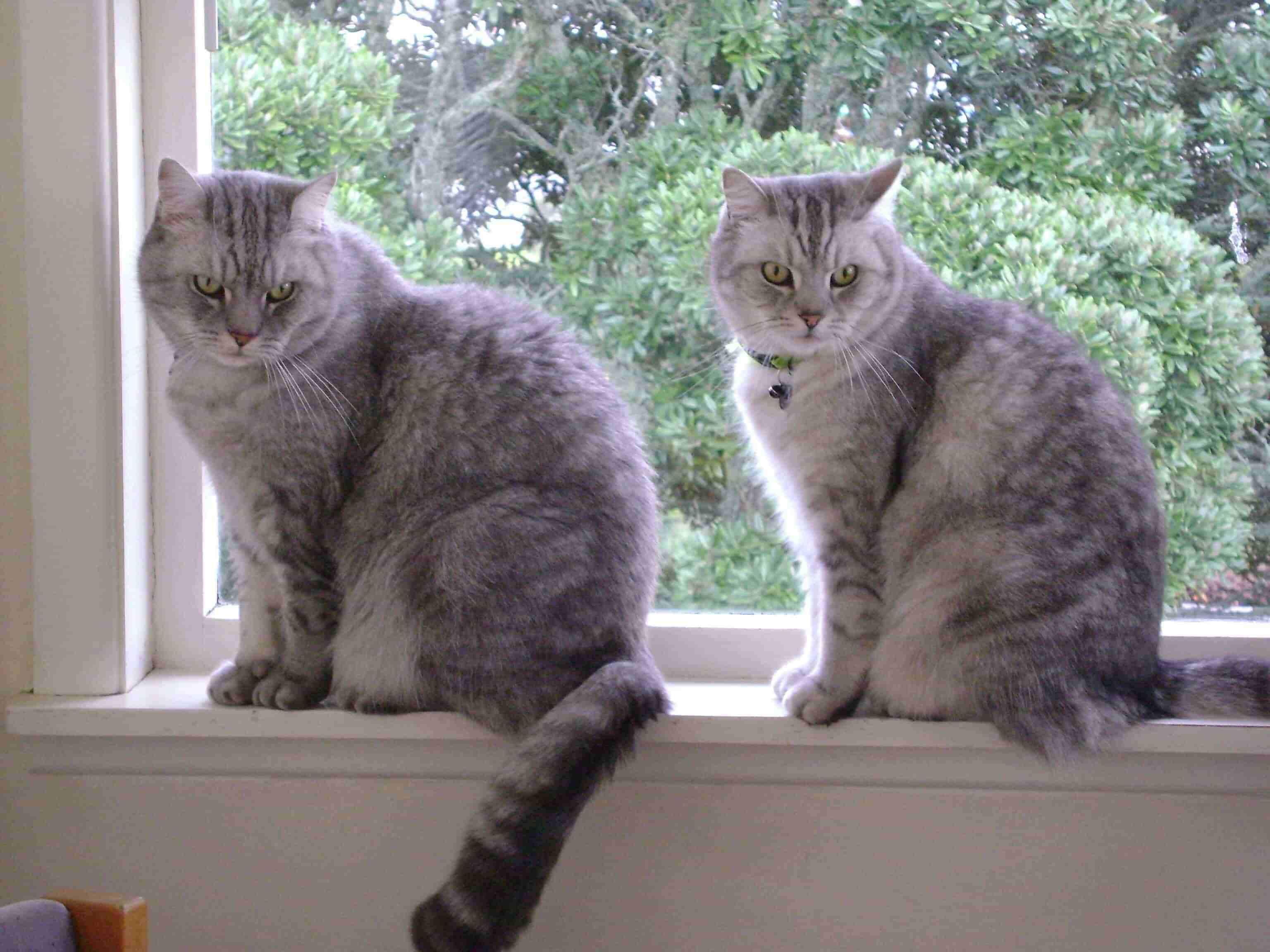 Two Gray Cats Image