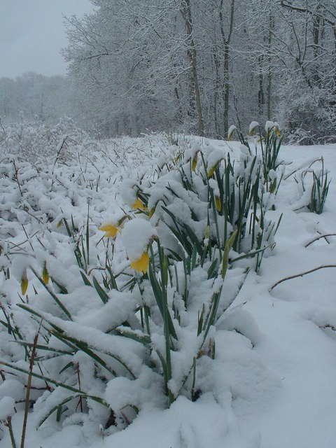 Waiting For The Daffodils Image