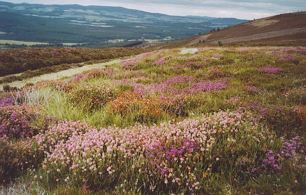 White And Purple Heather Image