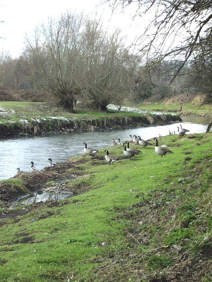Canadian Geese, River Tame Residents